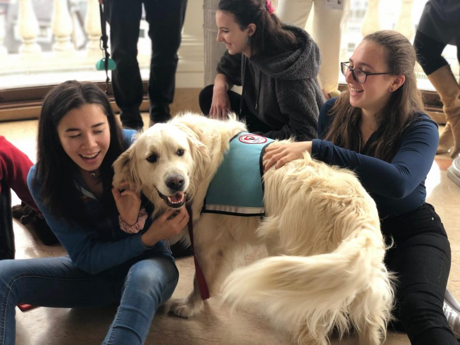 Therapy golden retriever Charlie plays with students in the Belvedere. He has been training to be a support animal for over a year.