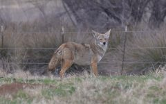 On average, coyotes in captivity can live for roughly 13-15 years, but in the wild, most will die before they reach three years of age. Coyote attacks on civilians are generally very rare, one is more likely to be killed or injured by an errant golf ball than this species.