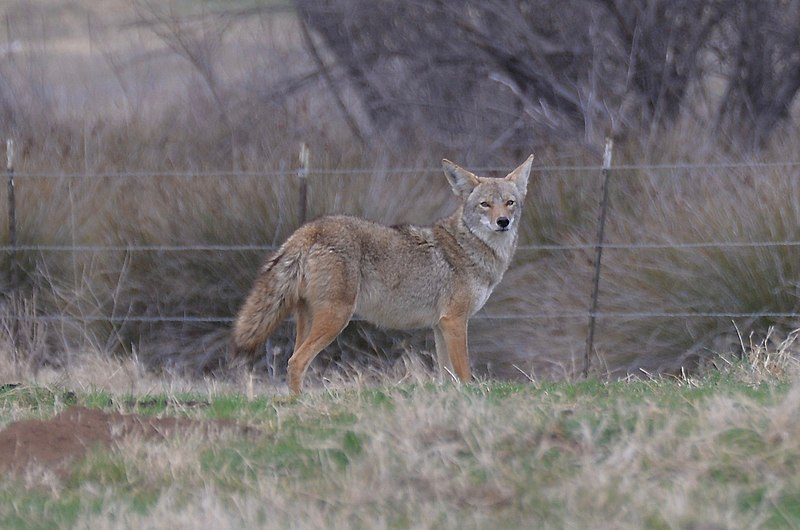 Coyotes resurface in cityscapes